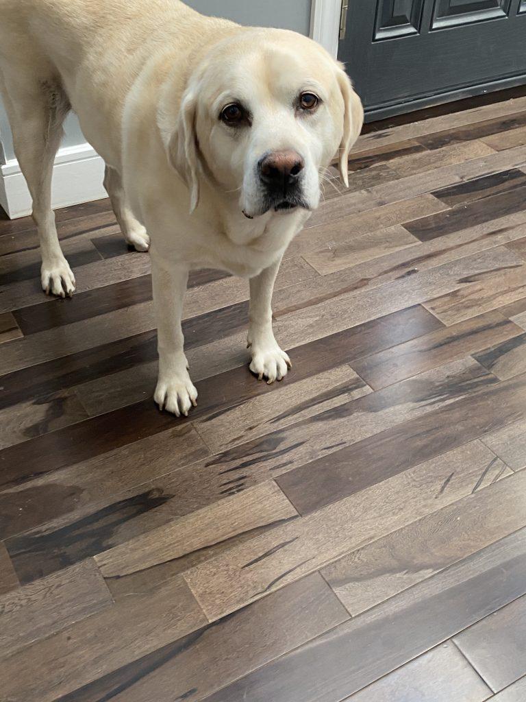 Ziggy-therapy dog